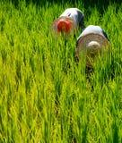 Agricoltori del riso in Malesia che raccoglie concetto della campagna Immagini Stock