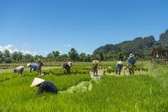 Agricoltori del riso nel Laos Fotografia Stock Libera da Diritti