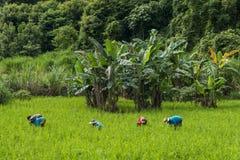Agricoltori del riso nel Laos Immagini Stock Libere da Diritti