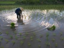 AGRICOLTORI DEL RISO NELLA PROVINCIA DI SONGKHLA, TAILANDIA Immagini Stock Libere da Diritti