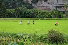 Agricoltori del riso nella valle di Harau in Sumatra ad ovest, Indonesia Fotografie Stock