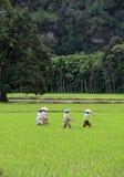 Agricoltori del riso nella valle di Harau in Sumatra ad ovest, Indonesia Immagine Stock