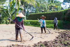 Agricoltori del riso vicino a Ubud in Indonesia Immagini Stock Libere da Diritti