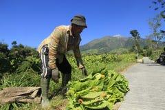 Agricoltori del tabacco Immagini Stock Libere da Diritti