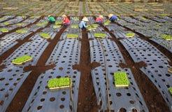 Agricoltori del Vietnam che coltivano lattuga nel campo Fotografie Stock Libere da Diritti