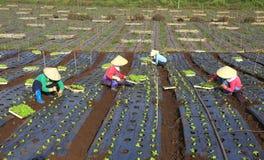 Agricoltori del Vietnam che coltivano lattuga nel campo Fotografie Stock