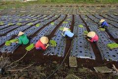 Agricoltori del Vietnam che coltivano lattuga nel campo Fotografia Stock