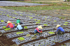 Agricoltori del Vietnam che coltivano lattuga nel campo Immagine Stock Libera da Diritti