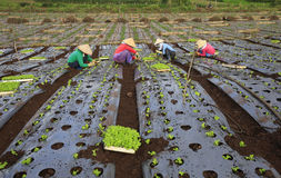 Agricoltori del Vietnam che coltivano lattuga nel campo Fotografia Stock Libera da Diritti