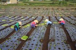 Agricoltori del Vietnam che coltivano lattuga nel campo Immagine Stock