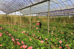 Agricoltori del Vietnam che raccolgono gerber in serra Immagini Stock