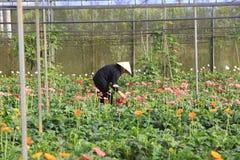 Agricoltori del Vietnam che raccolgono gerber in serra Immagine Stock Libera da Diritti