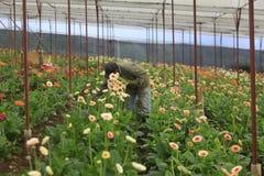 Agricoltori del Vietnam che raccolgono gerber in serra Immagini Stock Libere da Diritti