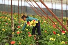 Agricoltori del Vietnam che raccolgono gerber in serra Fotografia Stock