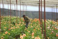 Agricoltori del Vietnam che raccolgono gerber in serra Fotografia Stock Libera da Diritti