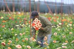 Agricoltori del Vietnam che raccolgono gerber in serra Fotografie Stock