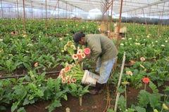 Agricoltori del Vietnam che raccolgono gerber in serra Immagine Stock