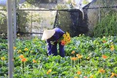 Agricoltori del Vietnam che raccolgono gerbera in serra Fotografia Stock Libera da Diritti