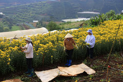 Agricoltori del Vietnam che raccolgono i crisantemi nel campo Fotografie Stock