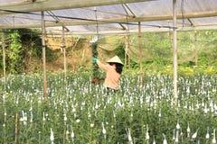 Agricoltori del Vietnam che raccolgono i crisantemi nel campo Immagini Stock