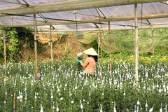 Agricoltori del Vietnam che raccolgono i crisantemi nel campo Fotografia Stock