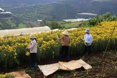 Agricoltori del Vietnam che raccolgono i crisantemi nel campo Fotografia Stock Libera da Diritti