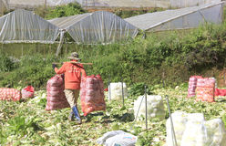 Agricoltori del Vietnam che raccolgono il cavolo di napa nel campo Fotografie Stock Libere da Diritti