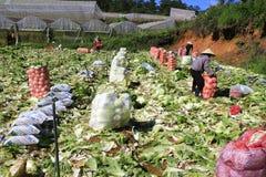 Agricoltori del Vietnam che raccolgono il cavolo di napa nel campo Immagini Stock