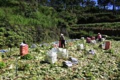 Agricoltori del Vietnam che raccolgono il cavolo di napa nel campo Fotografia Stock Libera da Diritti