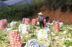 Agricoltori del Vietnam che raccolgono il cavolo di napa nel campo Fotografie Stock
