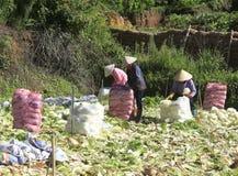 Agricoltori del Vietnam che raccolgono il cavolo di napa in serra Immagini Stock