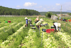 Agricoltori del Vietnam che raccolgono il cavolo di napa in serra Fotografia Stock