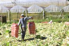 Agricoltori del Vietnam che raccolgono il cavolo di napa in serra Fotografie Stock Libere da Diritti