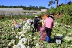 Agricoltori del Vietnam che raccolgono il cavolo di napa in serra Fotografia Stock Libera da Diritti