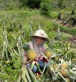 Agricoltori dell'ananas. Immagine Stock