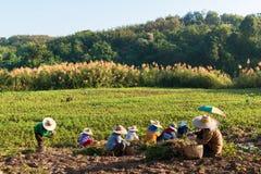 Agricoltori dell'arachide Fotografia Stock