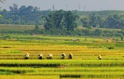 Agricoltori dell'Asia che lavorano alle risaie a terrazze Fotografia Stock
