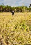 Agricoltori dell'Asia che raccolgono riso Fotografia Stock Libera da Diritti