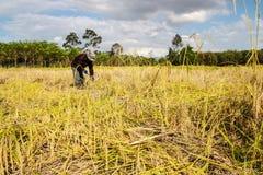 Agricoltori dell'Asia che raccolgono riso Immagini Stock