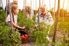 Agricoltori della famiglia che lavorano nel giardino Fotografie Stock Libere da Diritti