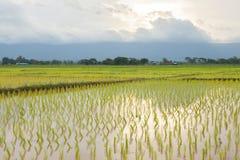 agricoltori della pianta di riso che piantano riso Fotografie Stock