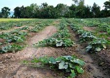 Agricoltori della verdura della Tailandia Fotografie Stock Libere da Diritti