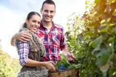 Agricoltori delle coppie in vigna Immagine Stock