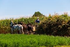 Agricoltori di Amish che effettuano il raccolto del cereale Immagini Stock Libere da Diritti