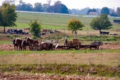 Agricoltori di Amish che lavorano con là i cavalli Fotografia Stock