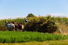 Agricoltori di Amish che raccolgono cereale Fotografie Stock