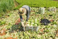 Agricoltori di Dalat che havesting l'insalata Fotografia Stock Libera da Diritti