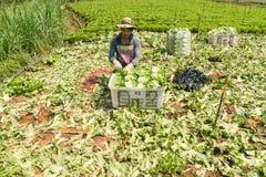 Agricoltori di Dalat che havesting l'insalata Immagine Stock