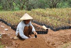 Agricoltori di frutta indonesiani Fotografie Stock Libere da Diritti