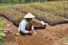 Agricoltori di frutta indonesiani Fotografia Stock